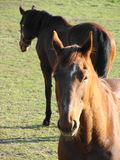 Beau cheval Images stock