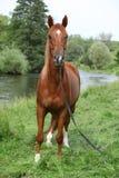 Beau cheval Arabe avec le licou intéressant d'exposition Photos stock