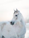 Beau cheval blanc en hiver Photographie stock libre de droits