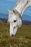 Beau cheval blanc frôlant dans un pré Photos stock