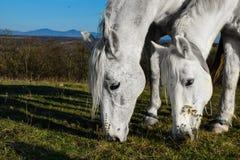 Beau cheval blanc frôlant dans un pré Photographie stock libre de droits