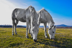 Beau cheval blanc frôlant dans un pré Photo stock