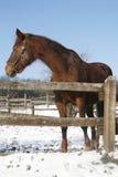 Beau cheval brun de race de châtaigne regardant en arrière dans le pré d'hiver sous le bl Photo stock