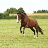 Beau cheval brun sautant dans la liberté image libre de droits
