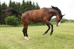Beau cheval brun sautant dans la liberté photos stock