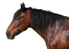 Beau cheval brun sur le fond blanc image libre de droits