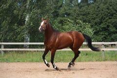 Beau cheval de baie galopant au champ Photos libres de droits