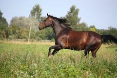 Beau cheval de baie galopant au pâturage Image stock