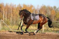 Beau cheval de baie galopant en automne Photo stock