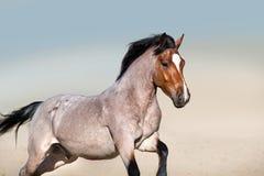 Beau cheval de baie rouan dans le mouvement Photo libre de droits