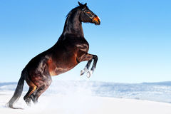 Beau cheval de baie s'élevant en hiver Image stock