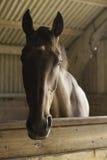 Beau cheval de Brown Image libre de droits