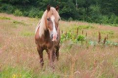 Beau cheval de châtaigne frôlant dans les prés Photographie stock