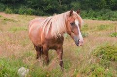 Beau cheval de châtaigne frôlant dans les prés Image libre de droits