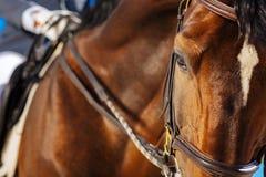 Beau cheval de course aux yeux noirs regardant un peu fatigué images libres de droits