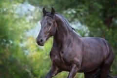 Beau cheval de frisian images stock