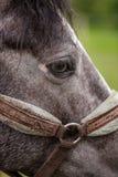 Beau cheval de grand oeil dans le frein dehors Photo libre de droits