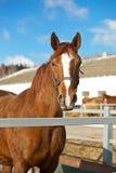 Beau cheval de Trakehner Images stock