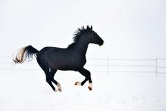 Beau cheval fonctionnant en hiver Image stock