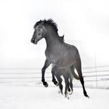 Beau cheval fonctionnant en hiver Images stock