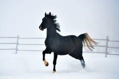 Beau cheval fonctionnant en hiver Photographie stock