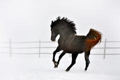 Beau cheval fonctionnant en hiver Photographie stock libre de droits
