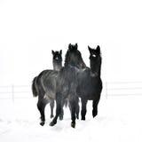 Beau cheval fonctionnant en hiver Images libres de droits