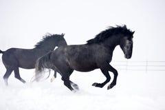 Beau cheval fonctionnant en hiver Photos libres de droits