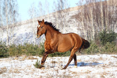 Beau cheval galopant en hiver Images libres de droits