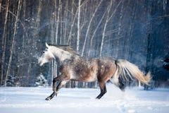 Beau cheval gris fonctionnant en hiver Photo stock
