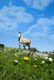 Beau cheval irlandais dans un domaine de marguerite Image libre de droits
