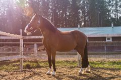Beau cheval même dans le harnais sur une photo intégrale de ferme photographie stock libre de droits