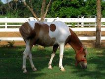 Beau cheval mangeant l'herbe dans une écurie Images libres de droits