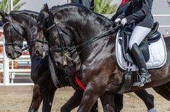 Beau cheval noir Photo libre de droits