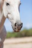 Beau cheval pré andalou d'espanola de raza de pura Photos libres de droits