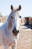 Beau cheval pré andalou d'espanola de raza de pura Image libre de droits