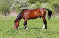 Beau cheval rouge Photos libres de droits