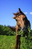 Beau cheval sur un pré en été Photos stock
