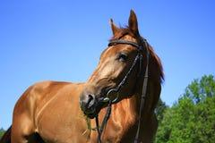 Beau cheval sur un pré en été photo stock