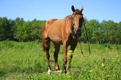 Beau cheval sur un pré en été Photographie stock