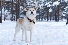 Beau chien Akita dans la forêt de féerie d'hiver des vacances d'hiver Image libre de droits