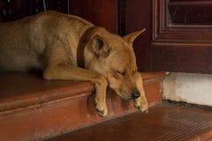 Beau chien aux cheveux jaunes dormant sur le seuil avec les pattes mignonnes - couleurs analogues - chiot avec les cheveux courts image stock