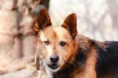 Beau chien avec les yeux bruns doux regardant directement la caméra Fond brouill? avec l'espace de copie photos stock