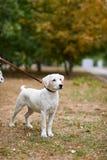 Beau chien blanc ayant l'amusement dans le parc Concept d'animal familier Image libre de droits
