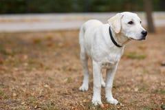 Beau chien blanc ayant l'amusement dans le parc Concept d'animal familier Images stock