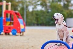 Beau chien blanc ayant l'amusement dans le parc Concept d'animal familier Photos stock