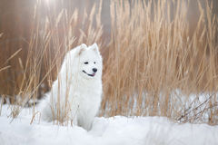 Beau chien blanc de Samoyed Photo stock