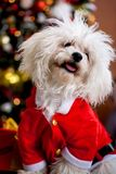 Beau chien bouclé de bison posant près d'un arbre de Noël Images libres de droits