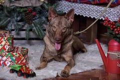 Beau chien brun sur le fond de nouvelle année Photographie stock libre de droits