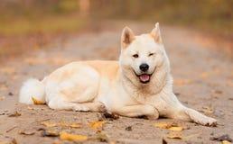Beau chien d'Akita dans la forêt images stock
